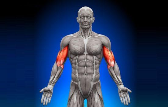 мускулатура человека