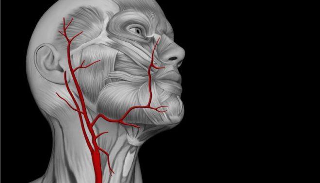 артерии на шее