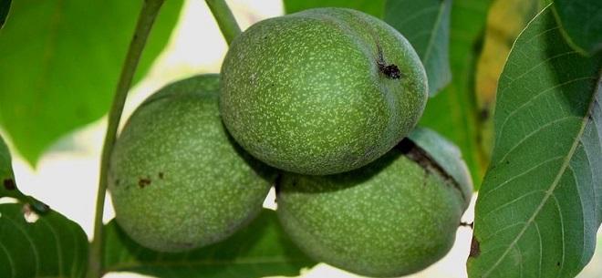 плоды зеленого грецкого ореха