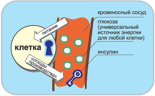 Процесс поступления глюкозы в клетки организма
