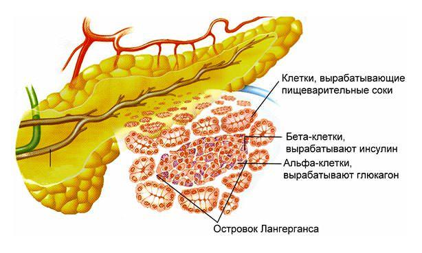 Бета-клетки поджелудочной железы