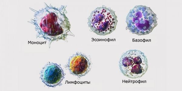 лейкоциты подклассы